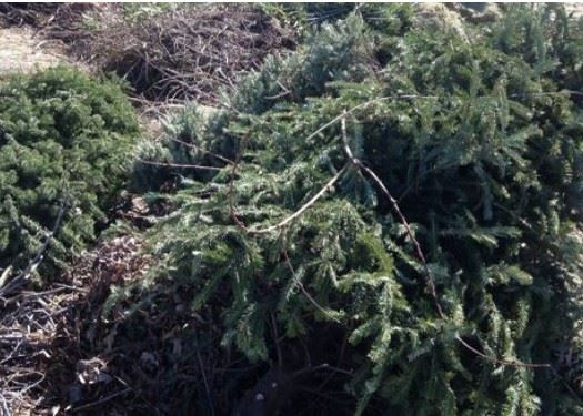 Evergreen Tree ready for Recycling