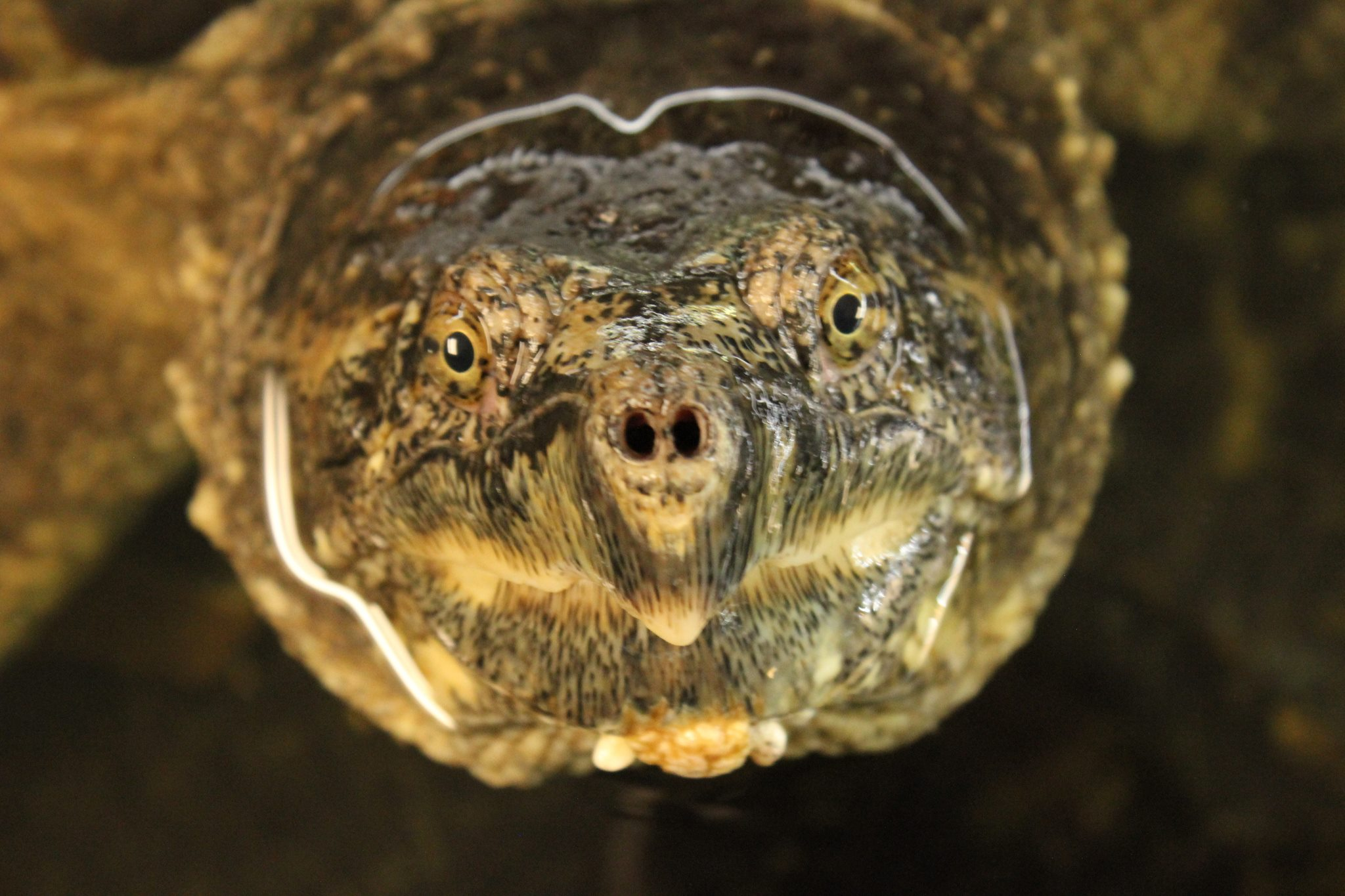 Close up image of Zilla, the Nature Center snapping turtle.